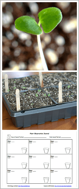 Gardening with Kids: Growing Seeds Indoors (with free printable observation sheet)~ BuggyandBuddy.com