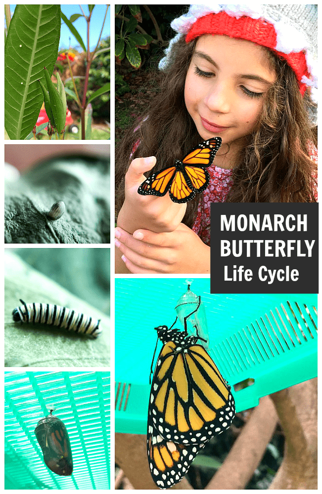 Exploring the Monarch Butterfly Life Cycle with Kids: explore all stages of the metamorphosis - egg, caterpillar, chrysalis, and butterfly (and how to grow milkweed) ~ BuggyandBuddy.com