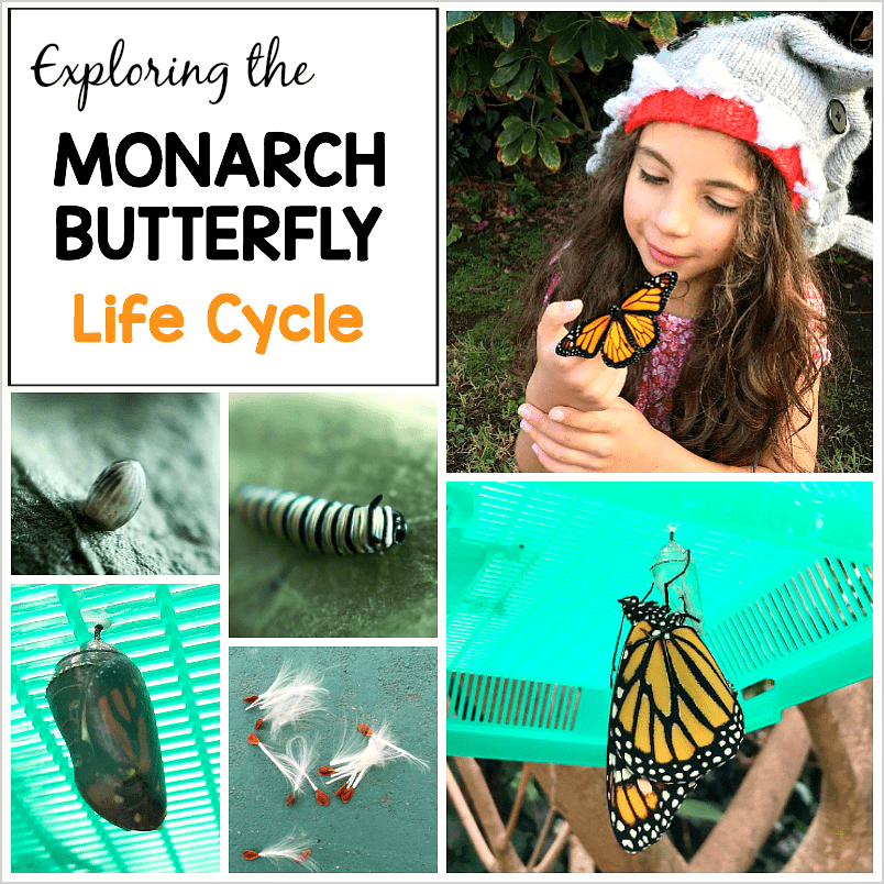 exploring the monarch butterfly life cycle with kids